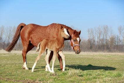 cheval et son poulain