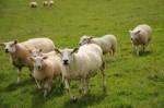 Entretien des postes électriques : RTE fait appel à des moutons!