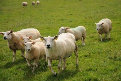 Moutons et entretien des postes électriques