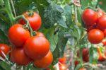 Innovation: produire de l'électricité à partir des tomates